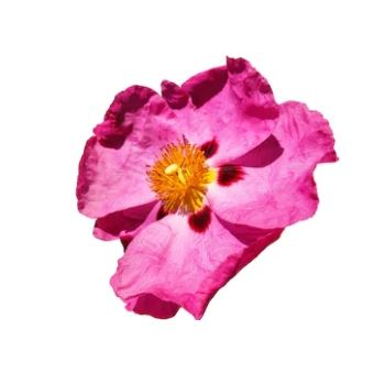 cistus nectar essential oil